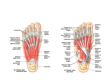 The Intrinsic Muscles of the Foot